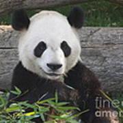Smiling Giant Panda Art Print