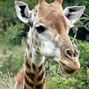 Smiling Giraffe Art Print