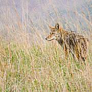 Smoky Mountains Coyote Art Print
