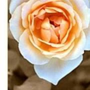Smooth Angel Rose Art Print