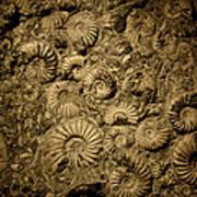 Snail Fossil Art Print