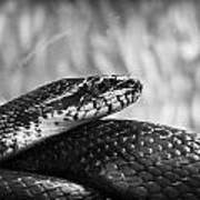 Snake In Black And White Art Print