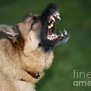 Snarling German Shepherd Dog Art Print