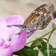Snoutnose Butterfly Art Print