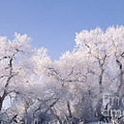 Snow And Ice Blanket Cottonwood Trees Art Print