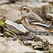 Snow Bunting Pictures 43 Art Print