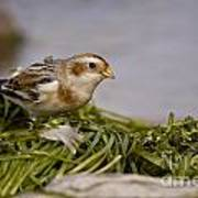 Snow Bunting Pictures 87 Art Print