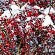 Snow Capped Berries Art Print