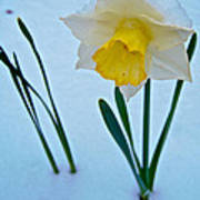 Snow-capped Daffodil On May 21 Near Des Chutes National Forest-or  Art Print