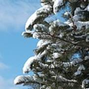 Snow-clad Pine Art Print