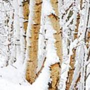 Snow Covered Birch Trees Art Print