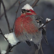 Snow Covered Pine Grosbeak Art Print