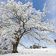 Snow Covered Winter Oak Tree Art Print