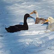 Snow Ducks Art Print