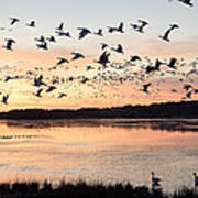 Snow Geese At Chincoteague Last Flight Of The Day Art Print