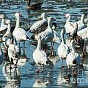Snow Geese Discussion Art Print