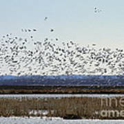 Snow Geese Taking Off At  Loess Bluffs National Wildlife Refuge Art Print