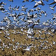Snow Goose Flock Taking Off Art Print