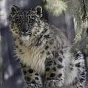 Snow Leopard 1 Art Print