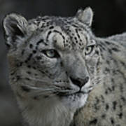 Snow Leopard 15 Art Print