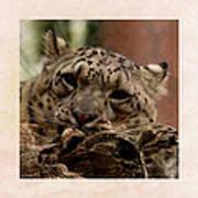 Snow Leopard 17 Art Print
