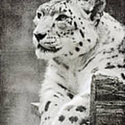 Snow Leopard 2 Art Print
