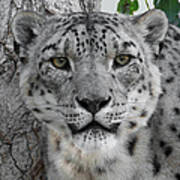 Snow Leopard 5 Art Print