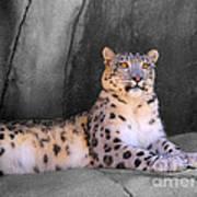 Snow Leopard II Art Print