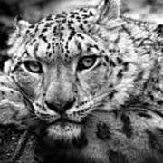 Snow Leopard In Black And White Art Print