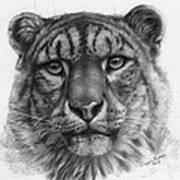 Snow Leopard - Panthera Uncia Portrait Art Print