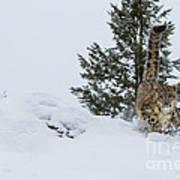 Snow Leopard Periscope Art Print