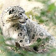 Snow Leopard Pose Art Print