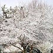 Snow Maple Art Print