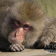 Snow Monkeys-just Hanging Out Art Print