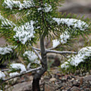 Snow On Baby Pine Tree In Yellowstone Art Print