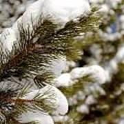 Snow Pine Art Print