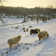 Snow Sheep  Art Print