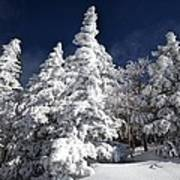 Snow Spruce Sunshine Art Print