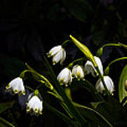 Snowdrops And Dark Background Art Print