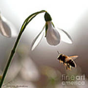 Snowdrops And The Bee Art Print