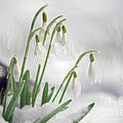 Snowdrops On Ice Art Print