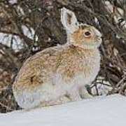 Snowshoe Hare Art Print