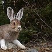 Snowshoe Hare Changing Colors Art Print