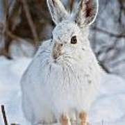Snowshoe Hare Pictures 130 Art Print