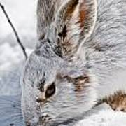 Snowshoe Hare Pictures 133 Art Print