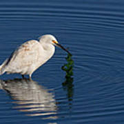 Snowy Egret Catches Sushi And Seaweed Art Print