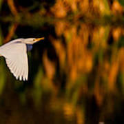 Snowy Egret Climbing Up To The Sky Art Print by Andres Leon