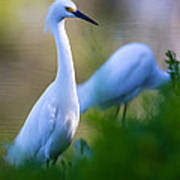 Snowy Egret On A Lush Green Foreground Art Print by Andres Leon