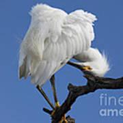 Snowy Egret Photograph Art Print