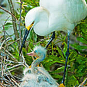 Snowy Egret Tending Young Art Print